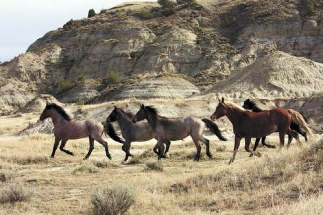Wild Horses in Theodore Roosevelt National Park, North Dakota | 10 Best US National Parks For Your World Travel Bucket List www.greenglobaltravel.com