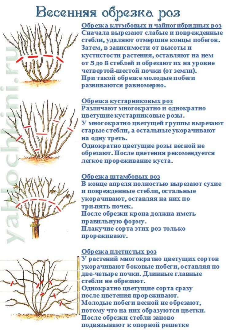 весенняя-обрезка-роз