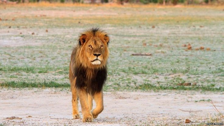 """Zimbabwe's 'iconic' lion Cecil killed by hunter - A hunter paid a $55,000 (£35,000) bribe to wildlife guides to kill an """"iconic"""" lion in Zimbabwe, a conservationist has told the BBC. Allegations that a Spaniard was behind the killing were being investigated, Johnny Rodrigues said. The lion, named Cecil, was shot with a crossbow and rifle, before being beheaded and skinned, he added.The 13-year-old lion was a major tourist attraction at Zimbabwe's famous Hwange National Park - Cecil the lion"""