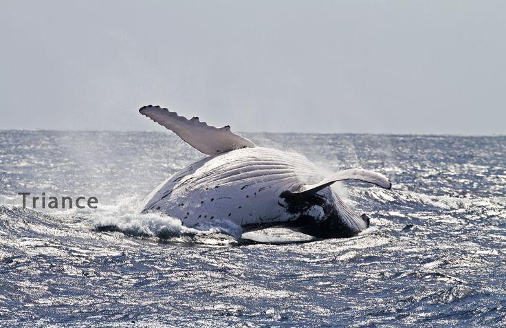 Humpback big breach.