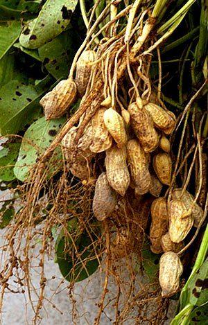 """Aproveitando o clima de festa junina, que tal cultivar amendoim?  Assim como o feijão e a ervilha, o amendoim é uma planta da família Fabaceae. No entanto, suas vagens se desenvolvem dentro do solo, onde amadurecem.  Acesse blog.plantei.com.br, pesquise por """"Amendoim"""" e saiba como cultiva-lo!💚"""