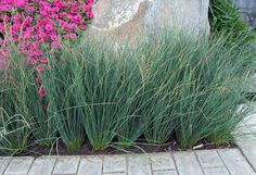 Blue Mohawk Grass - - Yahoo Image Search Results