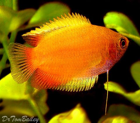 The 25 best aquarium fish for sale ideas on pinterest for Best place to buy betta fish online