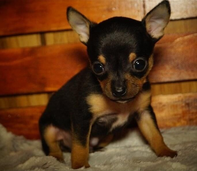Chihuahua Puppies For Adoption Near Me Free Chihuahua Near Me