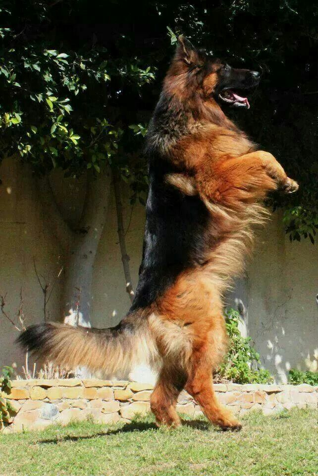 GSD walking tall (or peering at the foxy poodle next door?)