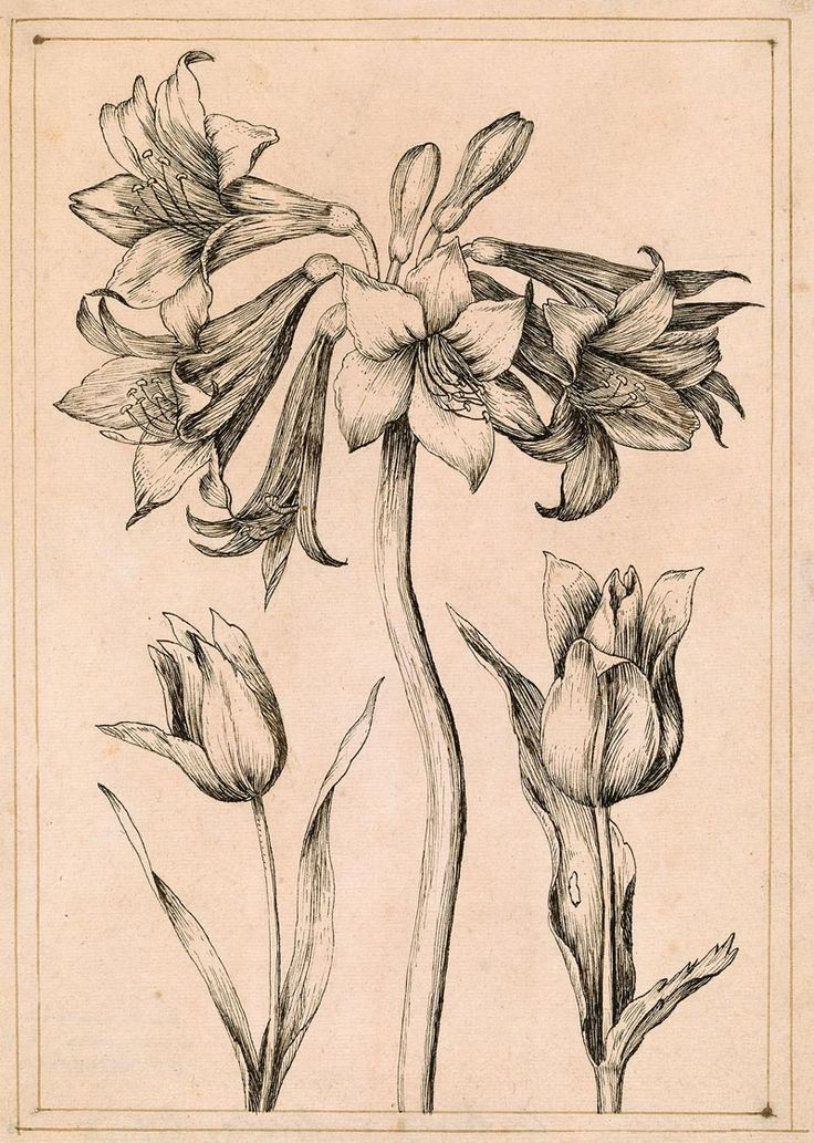 Nicolas Robert | 1614-1684 | An Amaryllis and Two Tulips | The Morgan Library & Musuem