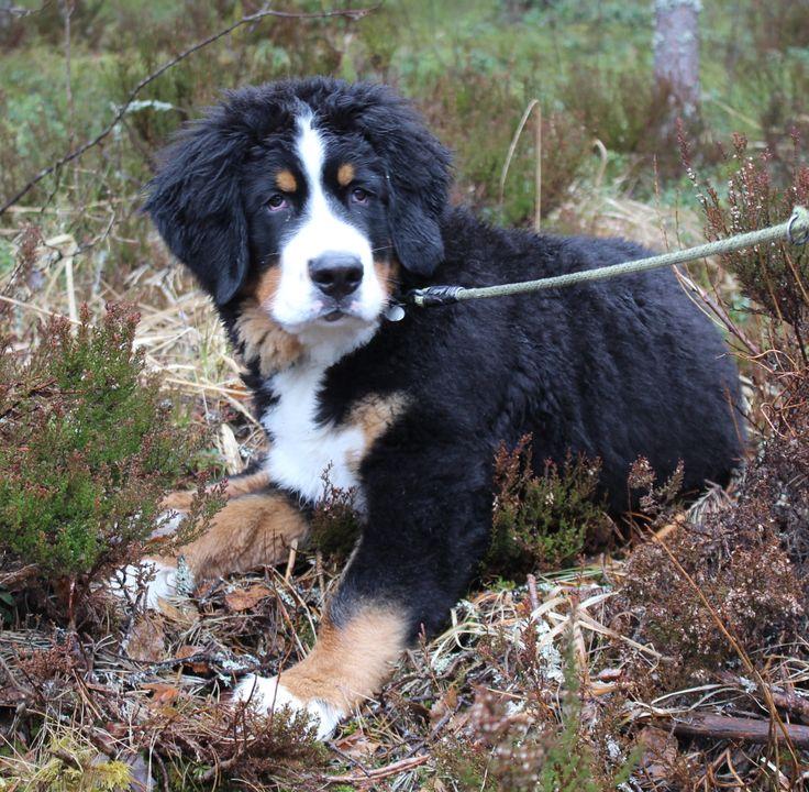 "Vierumäki huhtikuu -14""Laku"" our Bernese Mountain dog"