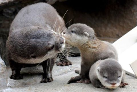 Mom and baby otters. Anne ve bebek su samurları