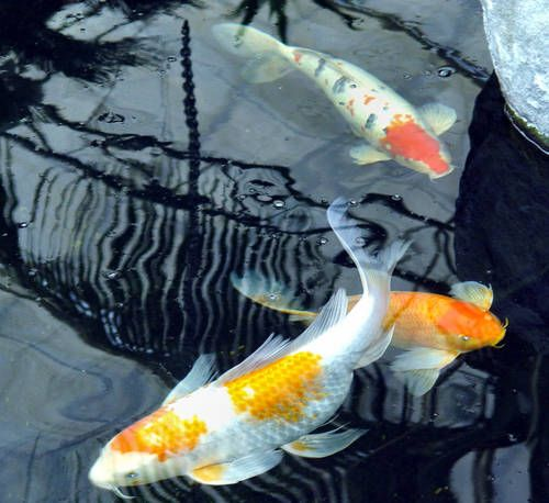 89 best images about garden ponds water features on for Where to buy koi fish near me