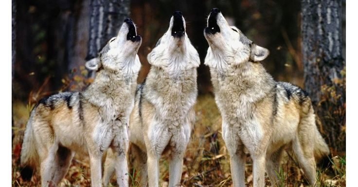 "I got ""Canine"" on ""Spirit Animal Quiz - SpiritHoods"" on Qzzr. Canines tend to run in packs. They are very social, loyal and highly intelligent. Your Spirit Animal is part: -Wolf -Fox -Coyote -Husky"