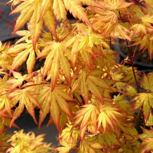 107 best images about japanese maples on pinterest green leaves japanese maple trees and search. Black Bedroom Furniture Sets. Home Design Ideas