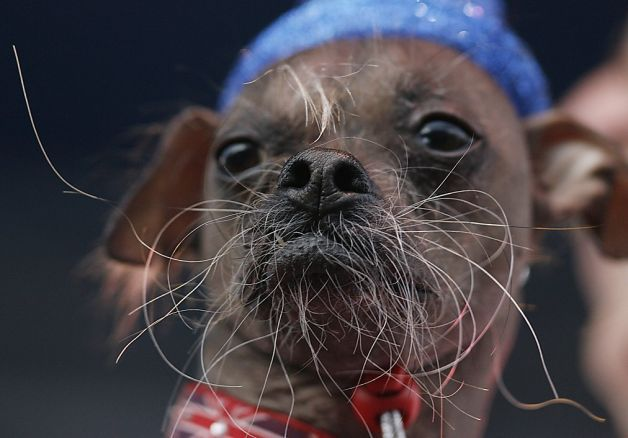 The Daily Dog Breed is the Chinese Crested ... and so is the 2012 World's Ugliest Dog ... Mugly