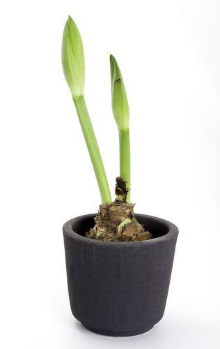 Hoe plant ik een amaryllis in de tuin? - bollen amaryllis - planten amaryllis - potten amaryllis -