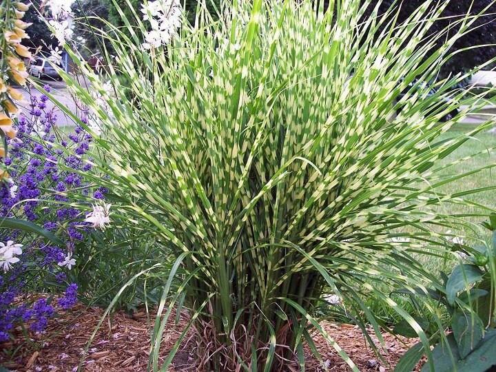 Miscanthus gold bar in summer garden ideas pinterest for Landscaping with zebra grass