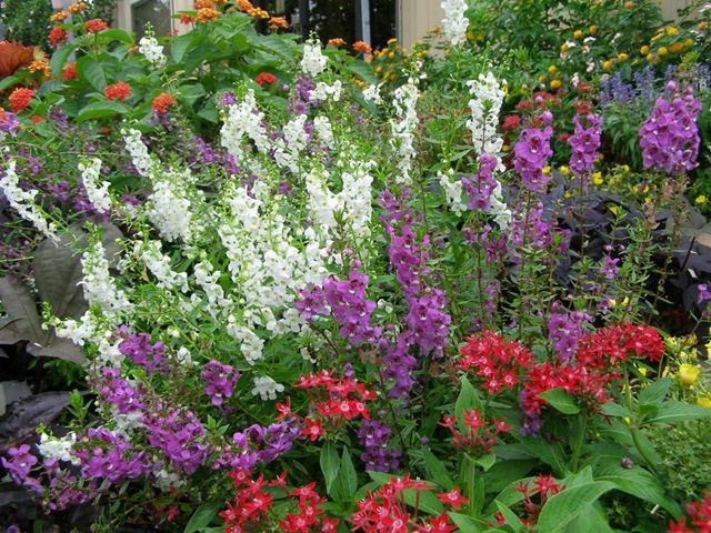 17 Best Images About Angelonia On Pinterest Gardens Sun