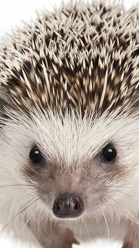 Hedgehog. Beautiful.