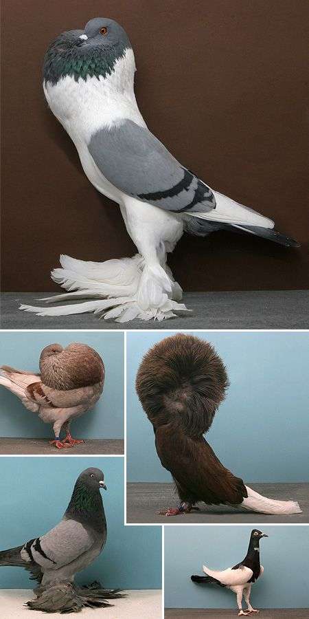 serie de fotos mostrando especies de palomas muy peculiares