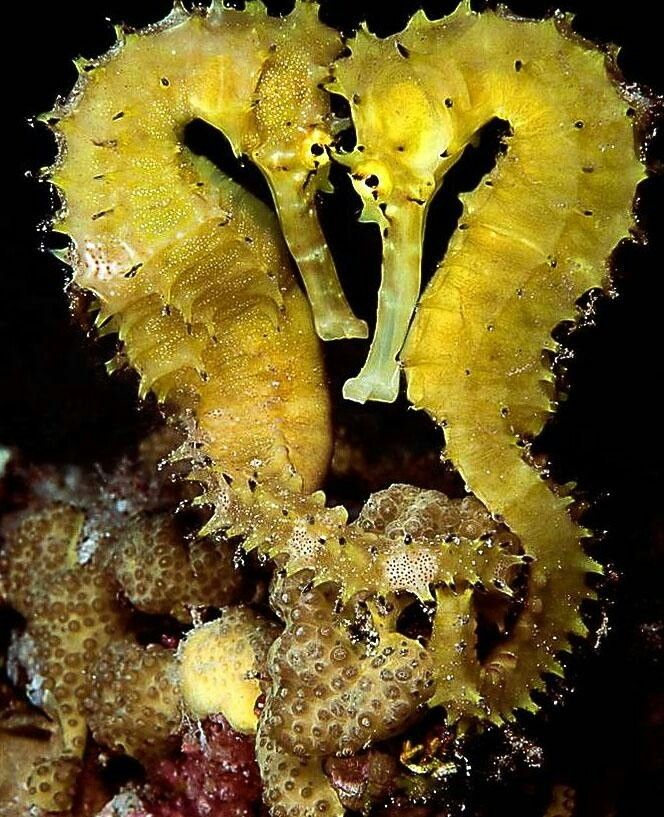 Seahorses...one of the coolest things to see diving