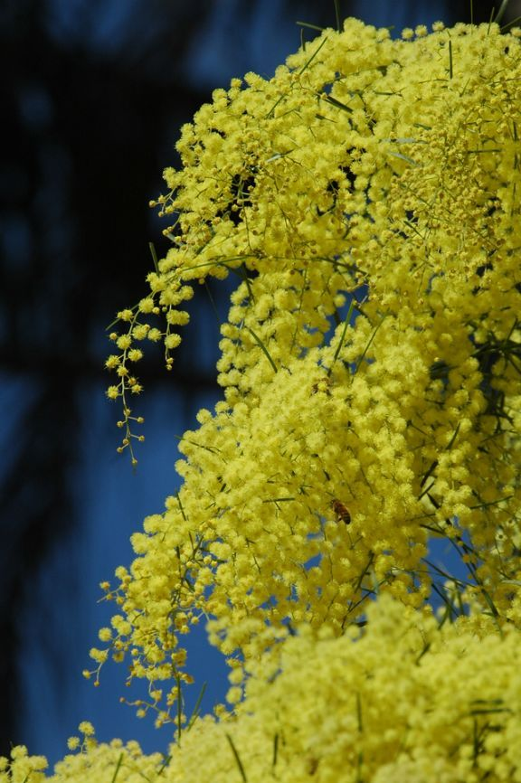 Click here www.theshortcollection.com.au/Australian-Flowers for information on the Australian Native Wattle. Buy a Handmade greeting card with this photo for just $4.50 delivered.