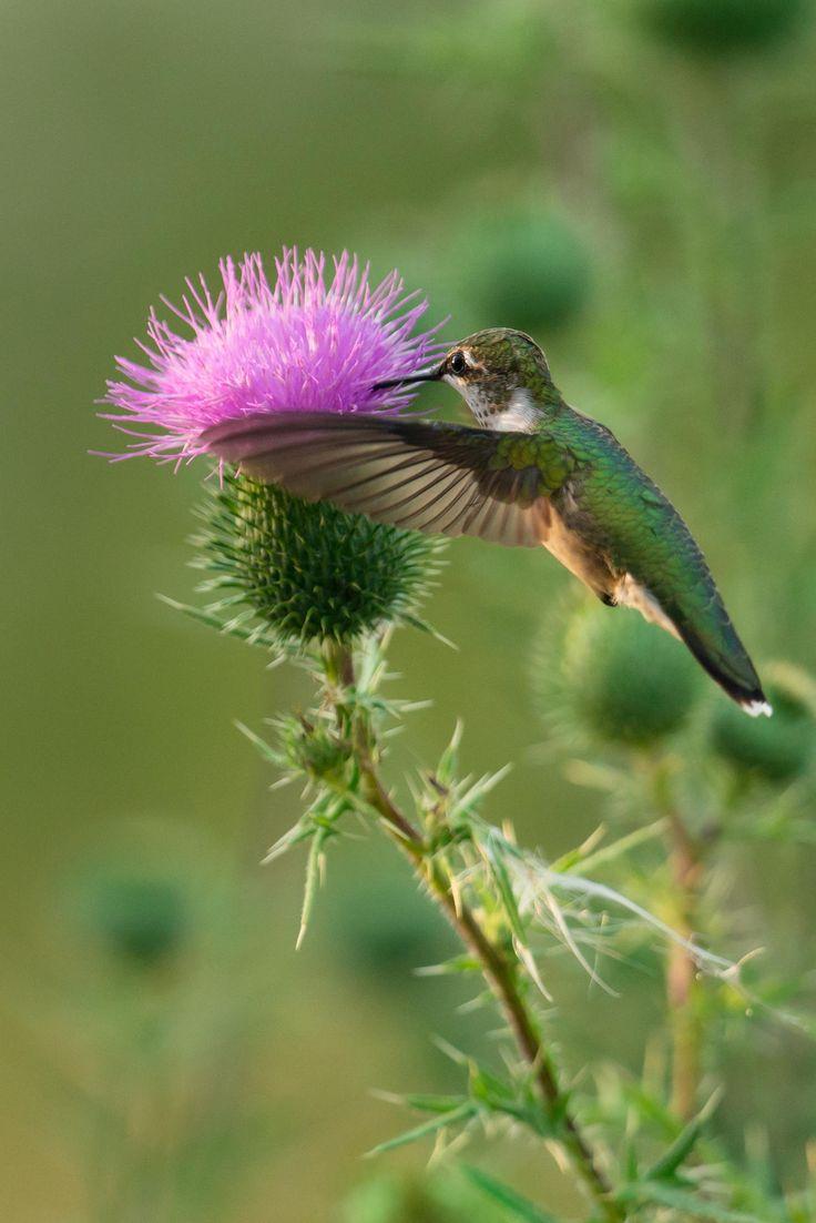 1758 best colibri hummingbird images on pinterest humming