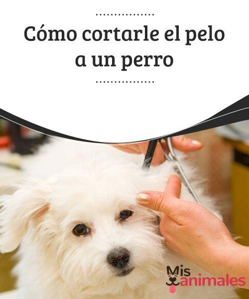 Cómo cortarle el #pelo a un #perro  En cualquier época del año, pero sobre todo en verano, es posible que tu perro necesite un buen corte de pelo. Si quieres ahorrarte el dinero destinado a la peluquería canina, mejor invierte en una #máquina de cortar pelo para canes, consíguete unas #tijeras adecuadas y conviértete en su nuevo estilista.