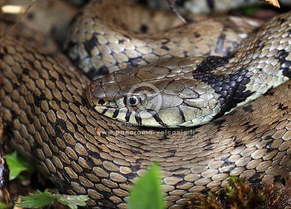 couleuvre à collier, écailles, natrix natrix, serpent, reptiles, photo hervé Christophe