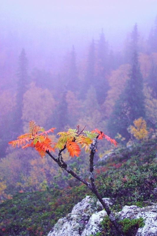 Autumn colours in Kuusamo, Finnish Lapland.
