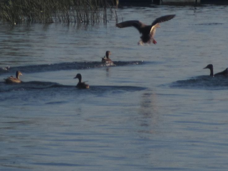 # ducks In for the landing