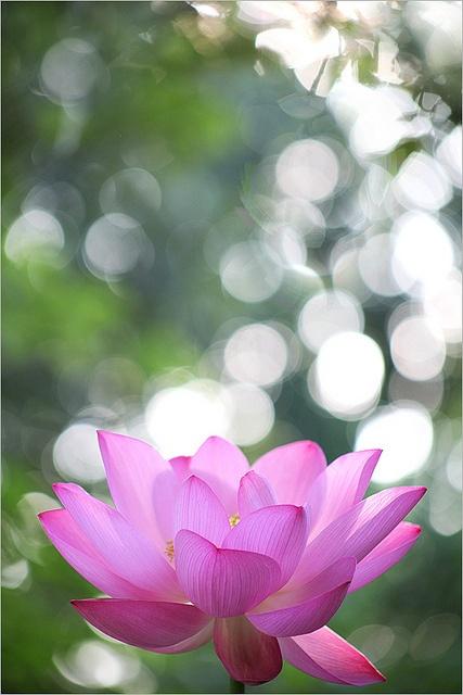 Lotus Flower at Sun Rise