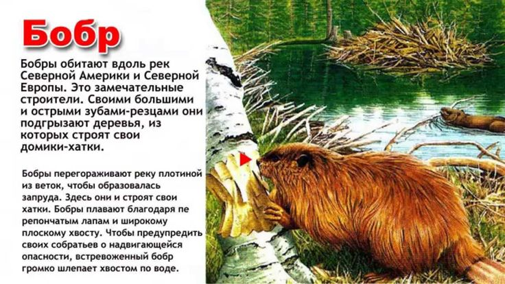Энциклопедия для детей. Буква Б. Бобр.