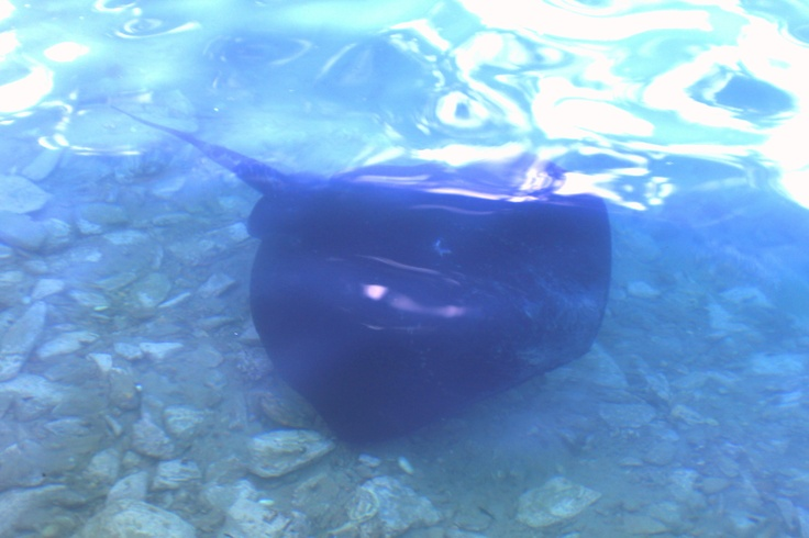 Stingray- entertainment for our guests at Bight Cafe. Bay of Many Coves