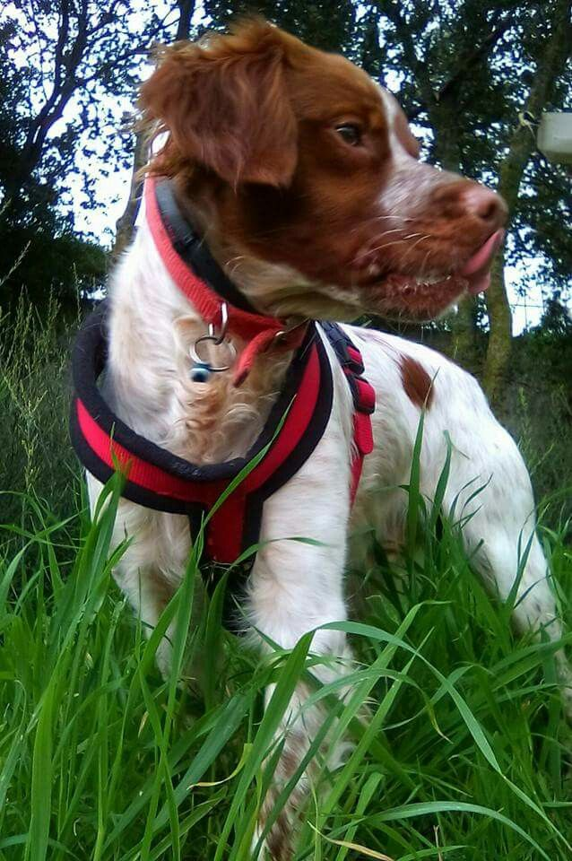 My Brittany boy...  He is in my❤ Brittany Spaniel