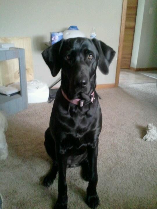 Remi should meet her    1 yr old Labradane Sweet baby girl Baby GirlLabradane Puppies