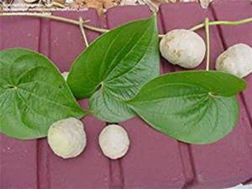 potato vine plant care