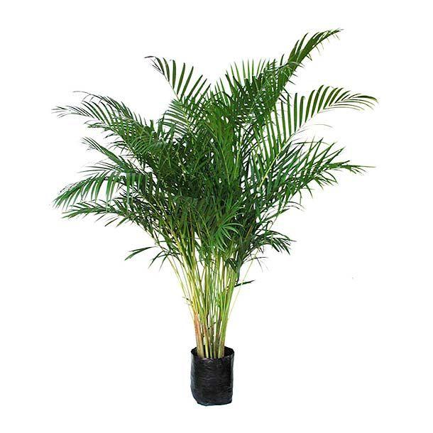 1.2 m de alto aproximadamente. Planta de sombra. Riego 2 veces por semana. Fertilización una vez al mes.