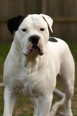 American Bulldog Training Secrets Of A Good Bulldog Bulldogs