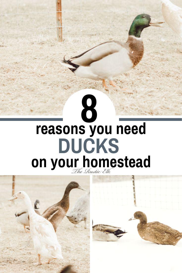 8 Benefits of Keeping Ducks | Chickens backyard, Raising ...