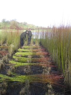 Willow harvesting during Cockermouth Green Open Homes day in March 2014 - these willow beds provide a sustainable supply of willow for the owner and basket maker.