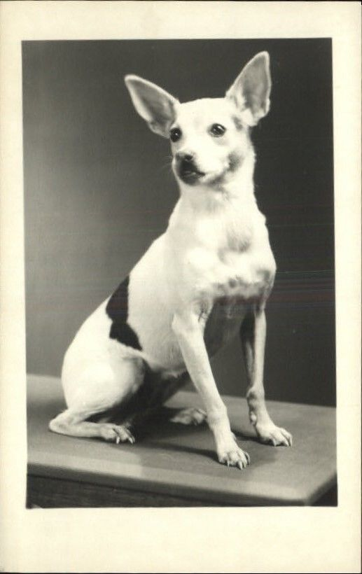 Chihuahua Terrier Mix Real Photo Postcard