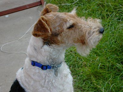 wire haired terrier - He looks just like our Sam.