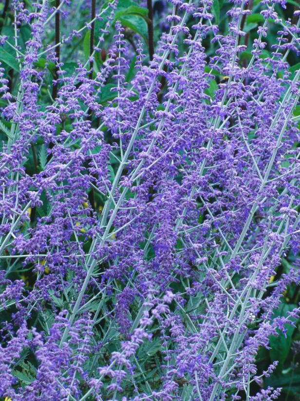 Tall Purple Plant