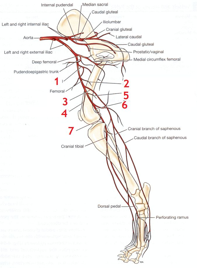 Dog Hind Leg Venous Diagram - Search For Wiring Diagrams •