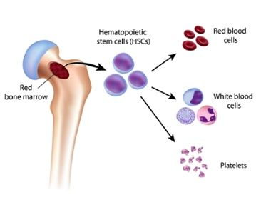 What's the difference between red bone marrow and yellow bone marrow?