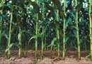 How to Keep Squirrels From Eating a Sweet Corn Crop | Home Guides | SF Gate