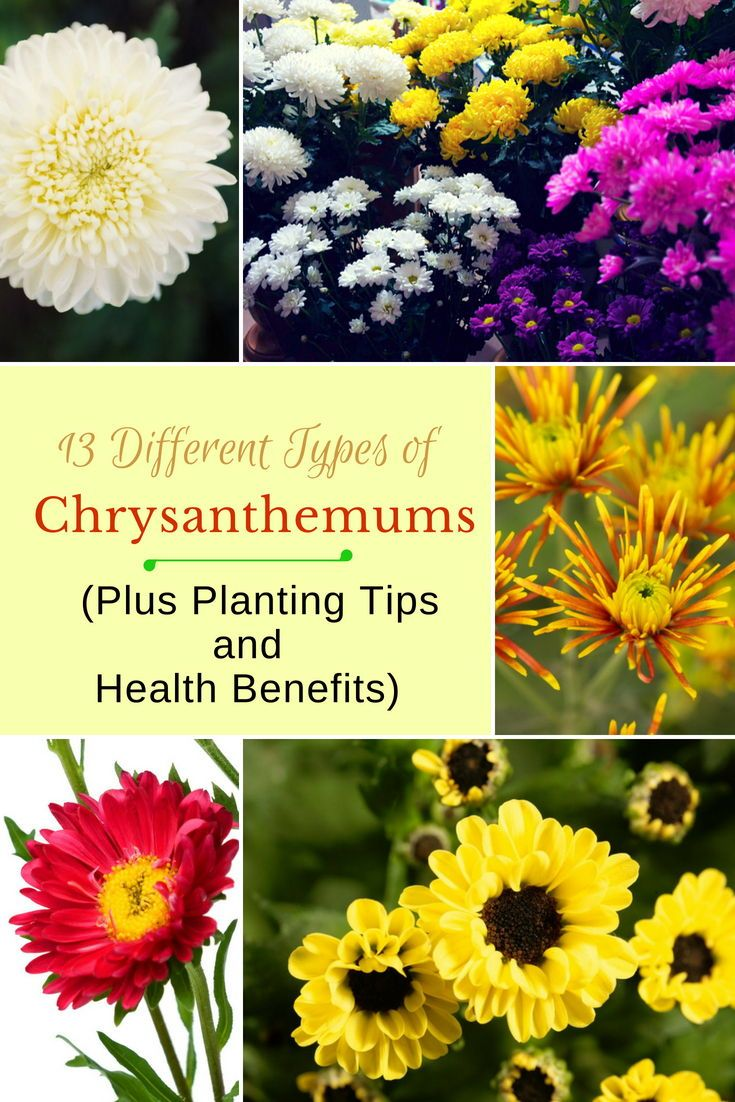 13 Different Types Of Chrysanthemums Plus Planting Tips And Health Benefits Mums Flowers Chrysanthemum Plant Chrysanthemum