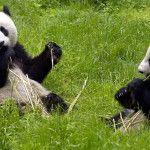 Mundial 2014: del Pulpo Paul a una pareja de osos panda bebés