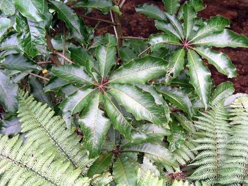 Patē, Schefflera digital, like Five Finger but thinner leaves of seven to ten leaflets, pale green shade.  Bears clusters of yellow-green flowers in summer and early autumn.