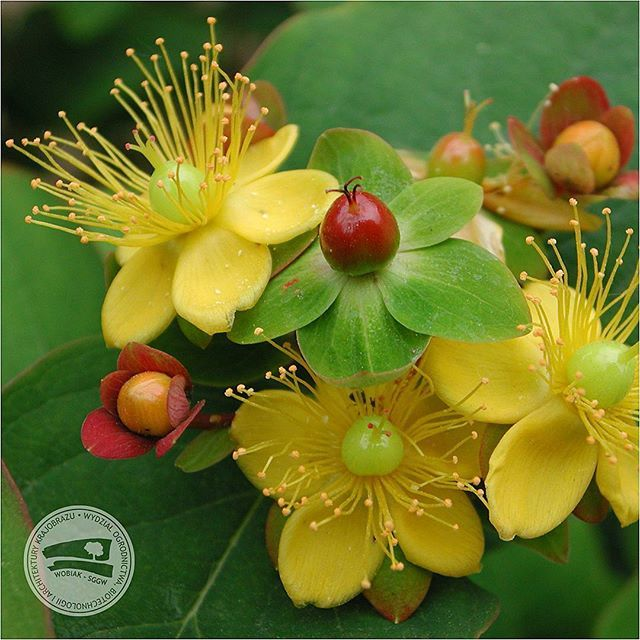 #Dziurawiec #barwierski #Hypericum androsaemum #dziurawcowate #bylina #roślinaozdobna #florystyka #buiety #bukiet #WOBiAK #SGGW / #HypericumAndrosaemum commonly known as #sweetAmber or #tutsan #Hypericaceae #perennial #ornamentalplant #floristry #bouquet #bunch #WULS