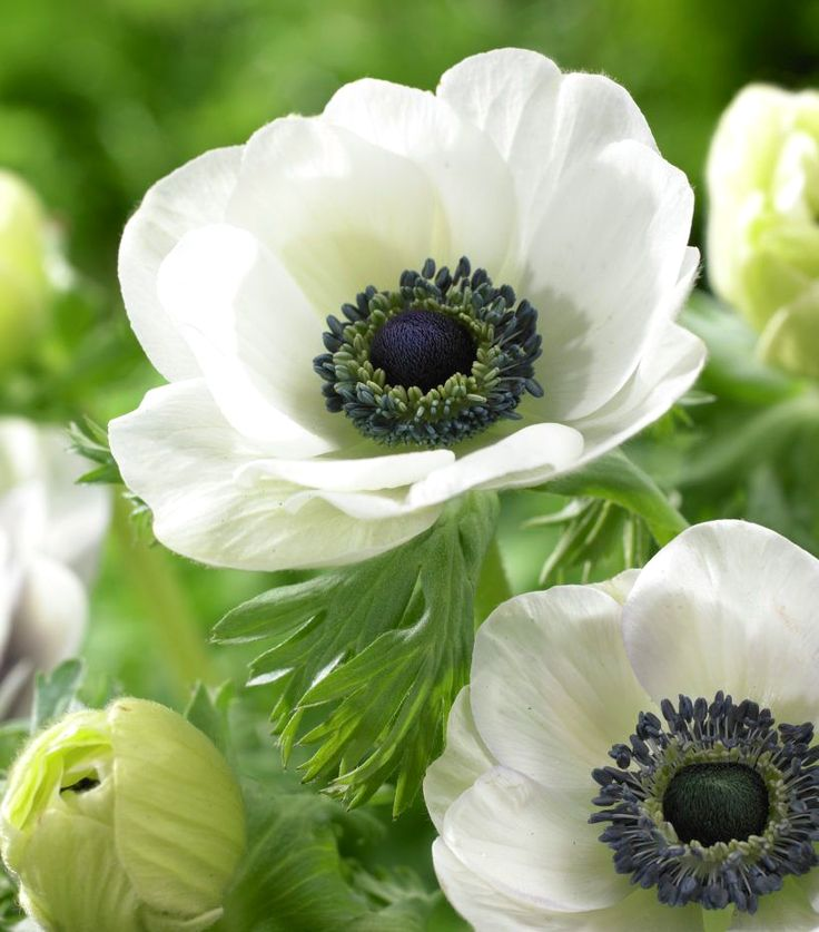 Lilies-of-the-Field, Poppy Anemone 'Black Eyed Beauty' (Anemone coronaria)