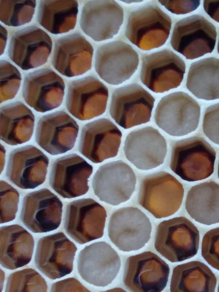 Název - Larva včely medonosné  (Apis mellifera) Místo focení - strejdova zahrada